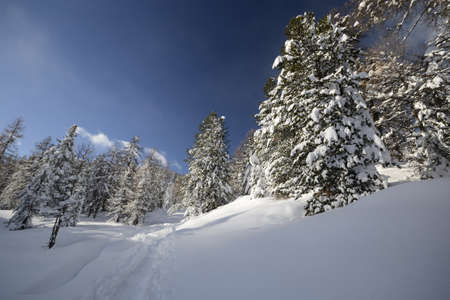 Wide angle view of glowing larch woods covered by thick snow in winter time taken during an ascent by ski touring in the italian Alps  Powder snow in the sky caused by strong wind