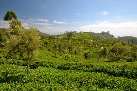 Wide angle shot of a vivid green tea crop in Haputale, Sri Lanka photo