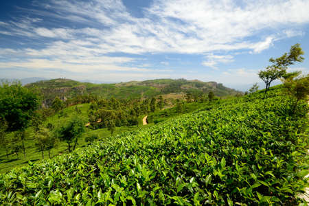 Wide angle shot of a vivid green tea crop in Haputale, Sri Lanka Stock Photo