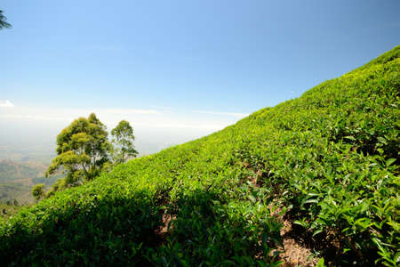 Wide angle shot of a vivid green tea crop in Haputale, Sri Lanka Stock Photo - 17352366