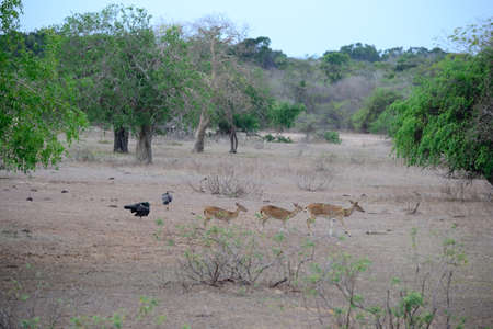 axis deer: A herd of the deer species variously called Chital, Spotted Deer or Axis Deer, in Yala National Park, south-east Sri Lanka