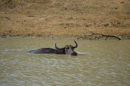 wallowing: Water Buffalos in Yala National Park, south-east Sri Lanka