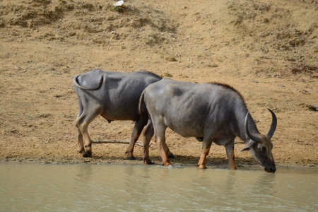 wallowing: Water Buffalos in Yala National Park, south-east Sri Lanka