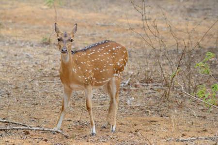 axis: Chital, ciervos manchados o Ciervo Axis, eje Eje, en Yala National Park, al sur-este de Sri Lanka