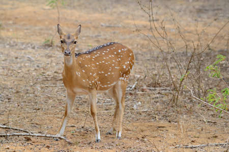 axis deer: Chital, Spotted Deer or Axis Deer, Axis axis, in Yala National Park, south-east Sri Lanka