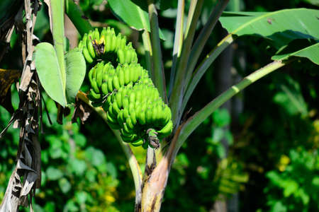 Green banana tree in Sri Lankan plantation