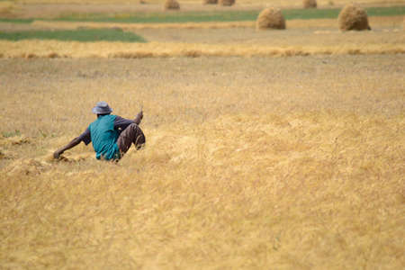 African man working in a golden teff field, Ethiopia  Unrecognizable person  photo