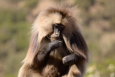 Gelada baboon in his natural habitat, the Simien Mountains National Park, Ethiopia