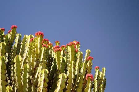 Fruiting Euphorbia Abyssinica, Tigray region, Ethiopia