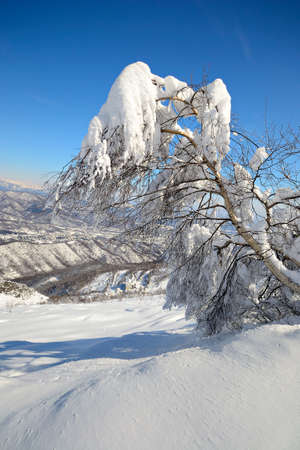 Elegant birch tree covered by thick snow with amazing winter mountainscape in the background and freshly fallen powder snow on the ground  Stock Photo
