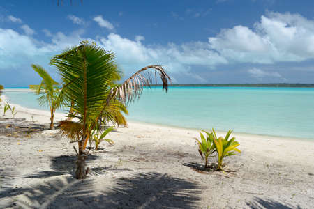 Baby palm tree growing up on the remote beach of Ee Island in an idyllic and uncontaminated environment with the turquoise water of Aitutaki lagoon in the background  Location  Aitutaki atoll, Cook Islands  photo