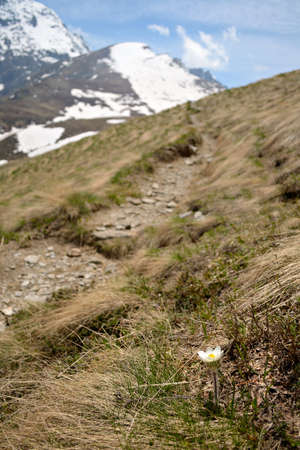 selective focus on a new born flower (white and yellow pulsatilla) arising from the grass close to the footpath leading to snowcapped mountain peaks in the background. Location: western Alps, Piedmont, Italy. Stock Photo - 20363554