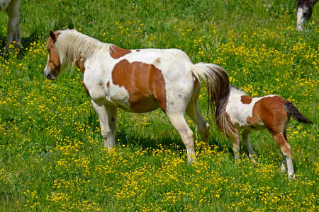 umbilical: New born foal and his beautiful mare with umbilical cord still hanging, grazing in amazing meadow of yellow flowers  Location  western Alps, Piedmont, Italy  Stock Photo