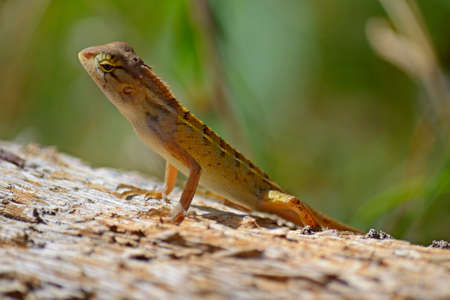 Close up of a colorful wild lizard  Agamidae  on rock  Selective focus on face Stock Photo - 23120428