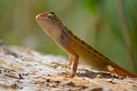 Close up of a colorful wild lizard  Agamidae  on rock  Selective focus on face  photo