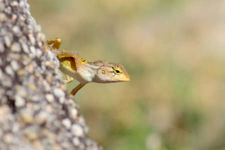 Close up of a colorful wild lizard  Agamidae  on rock  Selective focus on face Stock Photo - 23120958