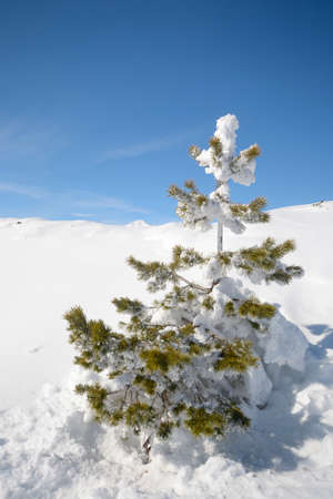 mountainscape: Christmas larch tree covered by thick snow with amazing winter mountainscape in the background and freshly fallen powder snow on the ground Stock Photo