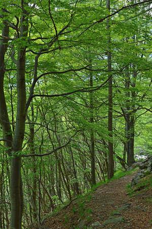 beech tree: Alpine footpath crossing a lush green forest of beech tree  Stock Photo