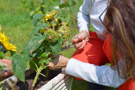 Woman trimming sunflower plants injured by spring parasites  photo
