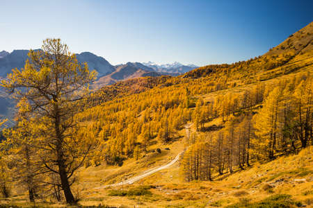 bardonecchia: Alpine valley view in a colorful autumn trees with yellow larch, high mountain peaks and ski resort in the background. Wide angle shot in the warm afternoon light. Stock Photo