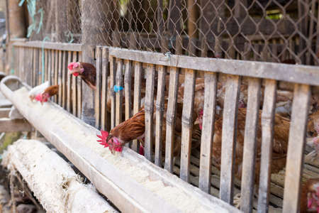 s trap: Chicken feeding in wooden cages, indonesian market. Selective focus.