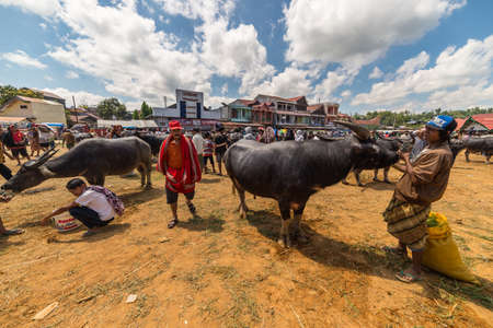 south asian ethnicity: Rantepao, Indonesia - September 7, 2014: buffalo for sell in the famous outdoor livestock market, held every 6 days in Rantepao, Tana Toraja, South Sulawesi, Indonesia. Editorial