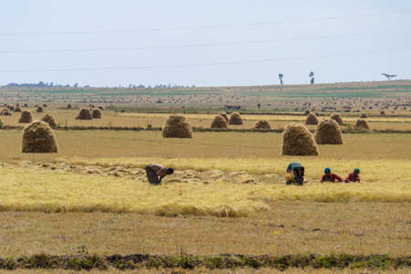 Fiche, Ethiopia - January 17, 2012: farmers working in the field of teff, harvesting and stacking the important cereal plants in the plateau of Fiche region, Ethiopia, East Africa.