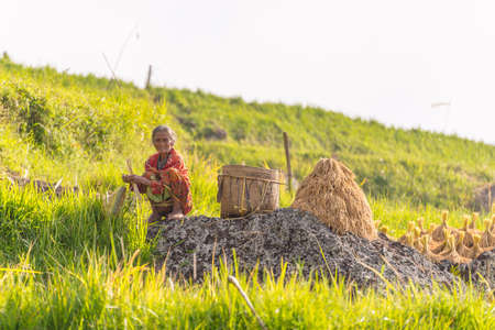 Batutumonga, Sulawesi, Indonesia - September 6, 2014: Unidentified woman with scarf working in the rice fields, harvesting and collecting by hand the important cereal that grows in the hilly region of Tana Toraja. Concept of manual working in developing c