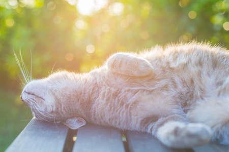 agotado: Juguetón gato doméstico que miente en banco de madera con patas dobladas. Tirado en la luz de fondo al atardecer. Muy poca profundidad de campo, se centró en el hocico.