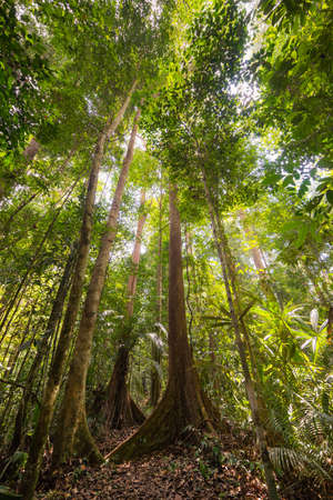 clima tropical: Wide angle view from below of the majestic tall trees with lush green canopy of the dense lowland rainforest in Lambir Hills National Park, Borneo, Malaysia. Shot in backlight, highlight slightly blown out. Foto de archivo