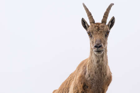 waist up: Front and waist up view of an ibex (Capra Ibex) looking at camera against white cloudy sky, italian Alps.