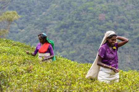 Haputale, Sri Lanka - September 4, 2012: Female tea pickers of Tamil ethnicity working in tea plantation in Haputale. Over one million Sri Lankans, mostly Tamil, are employed in the tea industry.