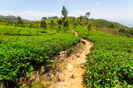 tea crop: Vivid green tea crop landscape in Haputale, one of the most visited landmark in Sri Lanka. Wide angle shot in a bright day of summer with clear blue sky.