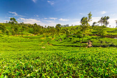 organic farm: Vivid green tea crop landscape in Haputale, one of the most visited landmark in Sri Lanka. Wide angle shot in a bright day of summer with clear blue sky.