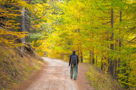 national plant: Backpacker walking on dirt road through larch tree woodland of the Italian French Alps. Colorful autumn season, rear view. Stock Photo