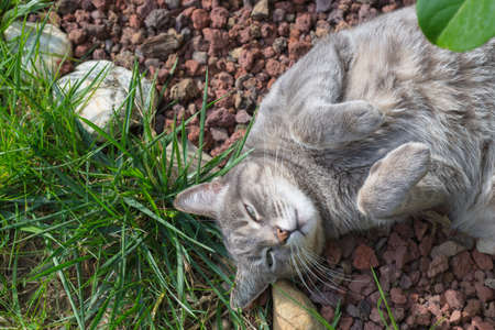 directly above: Playful domestic cat lying down on the grass with bent paws. Shot directly above outdoors in home garden with shallow depth of field. Stock Photo