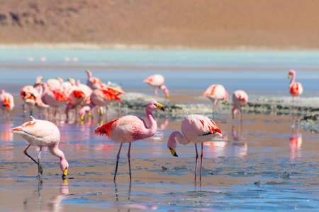 Pink flamingos feeding in the salt water of Laguna Hedionda (eng. Hedionda Lake), among the most scenic travel destination in the Andean Highlands of Bolivia. Selective focus.