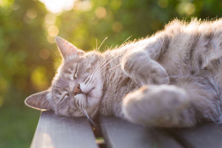 gray cat: Playful domestic cat lying on wooden bench with bent paws. Shot in backlight at sunset. Very shallow depth of field, focused on snout.