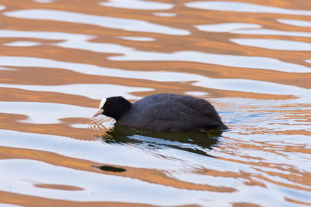 telephoto: Detail on lone Eurasian Coot swimming on water surface. Wetland natural park, telephoto view with sunset soft light.