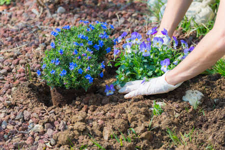 hoeing: Springtime home gardening, hoeing soil and planting flowers. Taking care of new born plants and manual working in home garden. Stock Photo