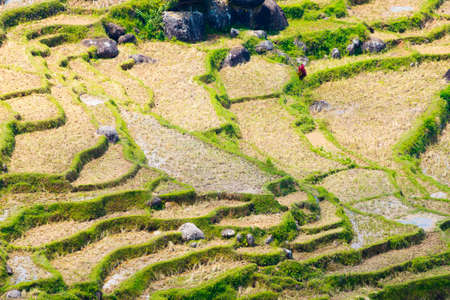 telephoto: Stunning landscape of rice fields in dry season on the mountains of Batutumonga, Tana Toraja, South Sulawesi, Indonesia. Telephoto view from above, vivid colors.