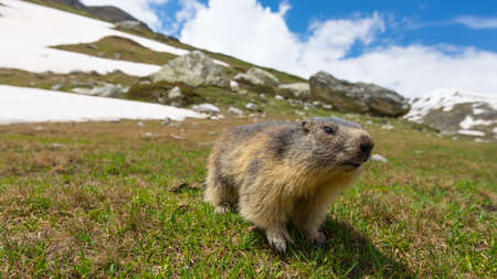 Close up of a cute young funny marmot, looking at camera, front view. Wildlife and nature reserve in the Italian French Alps. Summer adventures.