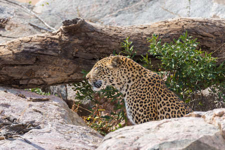 ambush: Big Leopard in attacking position ready for an ambush between the rocks and bush. Kruger National Park, South Africa. Close up.