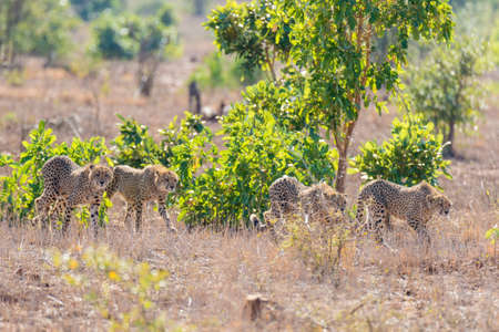 ambush: Group of Cheetah in hunting position ready to run for an ambush. Kruger National Park, South Africa. Stock Photo
