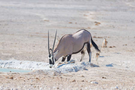 Oryx kneeling and drinking from waterhole in daylight. Wildlife Safari in Etosha National Park, the main travel destination in Namibia, Africa. Stock Photo