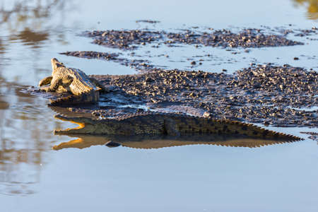 Crocodiles on river bank. Safari in Kruger National Park, travel destination in South Africa. Stock Photo
