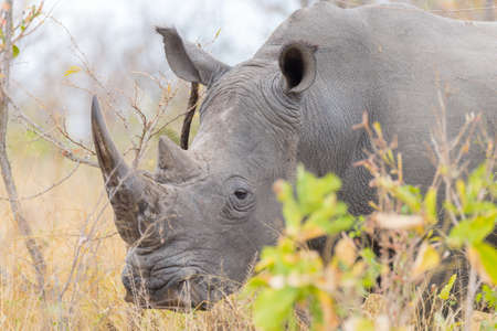 threaten: White Rhino close up and portrait with details of the horns, the cause of poaching and threaten. Big Five Safari in the Kruger National Park, the main travel destination in South Africa.
