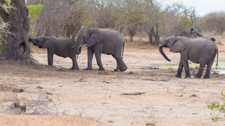 kruger national park: Two adult and one young African Elephants walking in the bush. Wildlife Safari in the Kruger National Park, the main travel destination in South Africa.