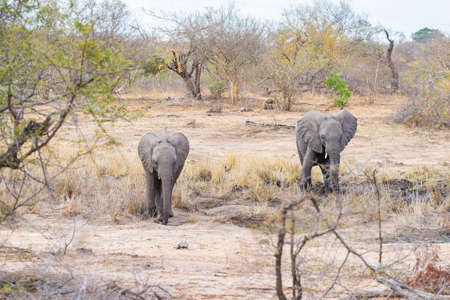 kruger national park: Adult and young African Elephants walking in the bush. Wildlife Safari in the Kruger National Park, the main travel destination in South Africa. Stock Photo