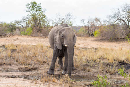 kruger national park: One single African Elephant walking in the distance. Wildlife Safari in the Kruger National Park, the main travel destination in South Africa. Front view, looking at camera. Stock Photo